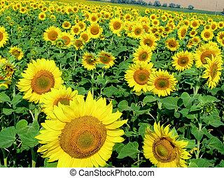 vibrant, zonnebloemen