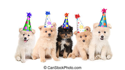 vieren, jarig, vijf, pomeranian, hondjes