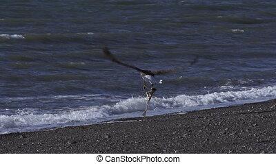 visje, vliegen, adelaar, kaal, weg