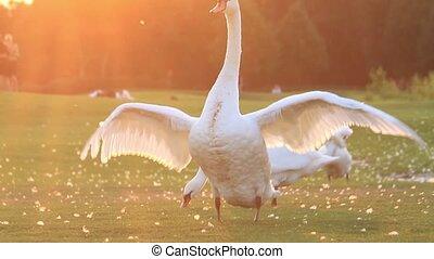 vleugels, zwaan, zijn, flaps, ondergaande zon