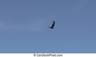 vlieg, 12, havik