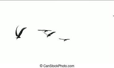 vlieg, migrerend, vlucht, vogels, op