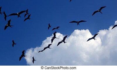 vlieg, vlucht, fregat, vogels, fragata