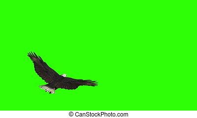vliegen, adelaar, vleugels, zijn, propageren