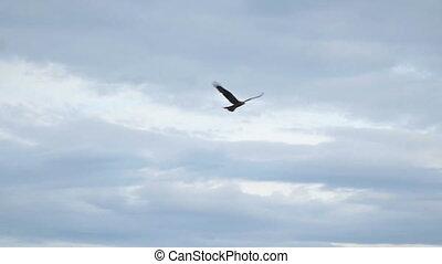 vliegen, hemel, tegen, prooi, bewolkt, vogel