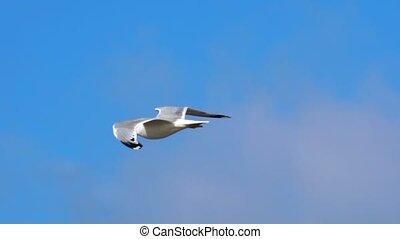 vliegen, vertragen, sky., motion:, tegemoetkomend, zij, gull, meer, tegen, dag, herfst, pakkend, dalingen, blows., sterke, koude, rijzen, bewolkt, vogel, wind, winds.