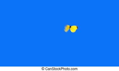 vlinder, blauwe , vliegen, achtergrond, gele