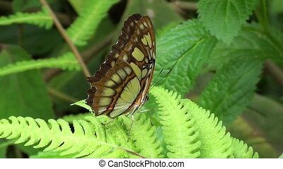 vlinder, bruine