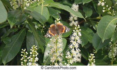 vlinder, flowers., spring.