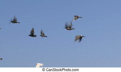 vlucht, duiven