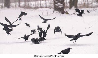 vlucht, het opstijgen, ravens
