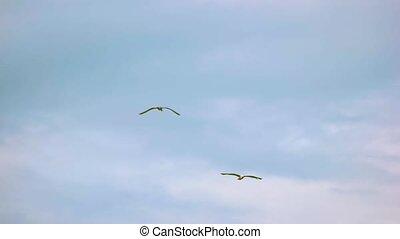vlucht, seagulls, slow-mo.