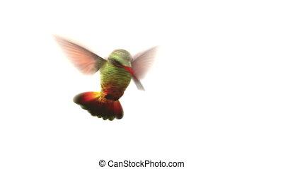 vogel, achtergrond, witte , het zoemen