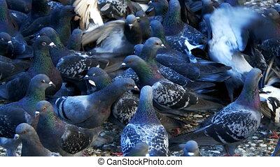 vogel, dier, duiven