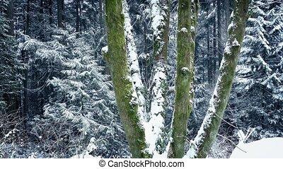 voorbijgaand, mossy, bomen, sneeuwval, bos