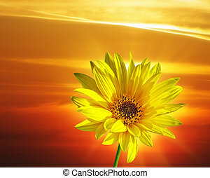 voorjaarsbloem, ondergaande zon