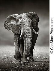 voorkant, (be)naderen, elefant
