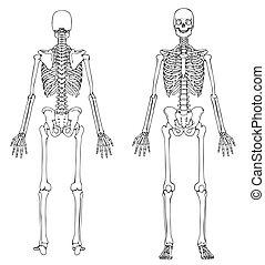 voorkant, skelet, back