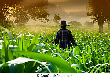 vrouw het lopen, koren, farmer, vroeg, velden, morgen