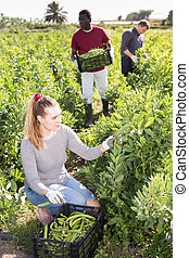 vrouw, mannen, spersiebonen, hulp, oogsten