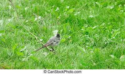 wagtail, vogel