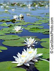 water-lelie, zomer, bloemen, meer