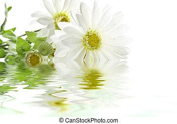 water, madeliefjes, reflecteren