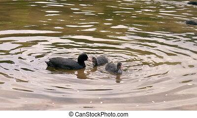waterfowl, atra., gezin, fulica, waterfowl.