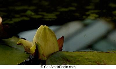 waterlelie, bloem