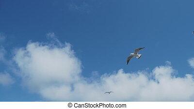 weer, goed, seagulls, vliegen, sterke, blauwe , sky., wind.