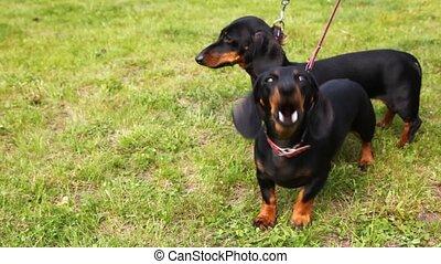 wei, twee, eigenaar, groene, wandelingen, badger-dogs, gras