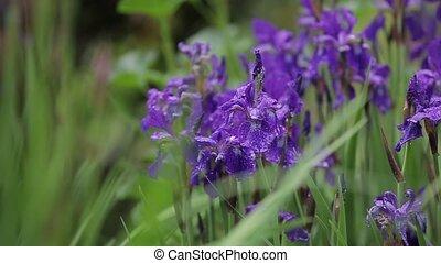 weinig; niet zo(veel), flora, grit, tuin, paarse , grass., groeien, mooi en gracieus, close-up, bloemen, romantische, iris, winderig, mooi, weather., sways, wind, flowers., aantrekkelijk, verkoop, groot