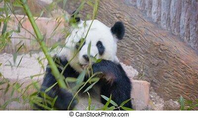 werkende, eten, -, beer, volwassene, bamboe, panda