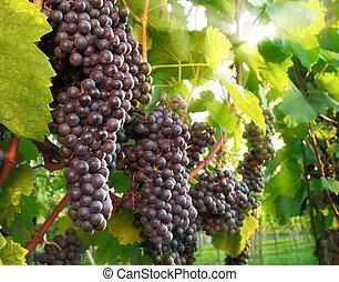 wijngaard, druiven, rijp, rood