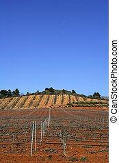 wijngaard, grapevines, rijen