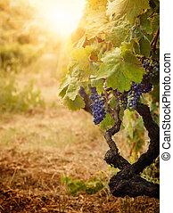 wijngaard, herfst, oogsten