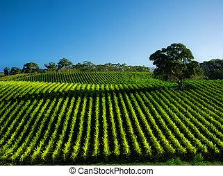 wijngaard, levendig