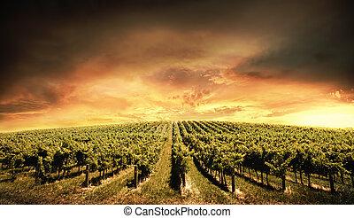 wijngaard, licht