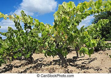 wijngaard, wijngaarden