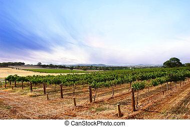 wijngaard, zomer, schemering