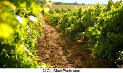 wijngaard, zomer