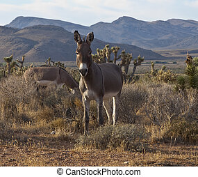 wild, nevada, burros