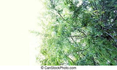 wilg, het slingeren, takken, wind, zonneschijn., onder, helder, boompje