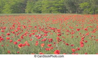 wind, slingeren, klaprozen, rood, blossom