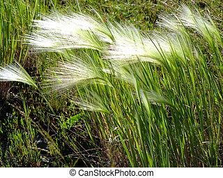 winderig, weer, feathergrass