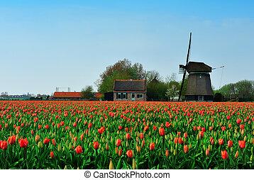 windmolen, tulpen