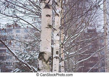 winter, russische , witte , berken, onderbroek, black