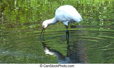 witte , spoonbill