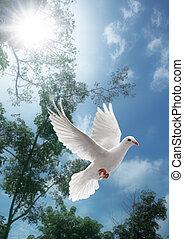 witte , vliegen, duif