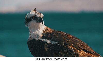 zee, marinier, prooi, achtergrond, zit, osprey, vogel, rood